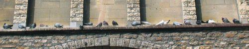 bord_eglise_plein_pigeons_en_500
